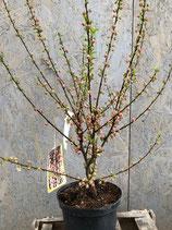 Mandelbäumchen Höhe 60 - 80 cm