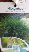 """Miscanthus sinensis """"Gracillimus"""""""