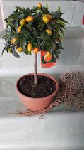 Kumquat-Stamm in Schale