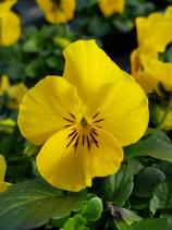 Hornveilchen 'Gelb mit Auge'