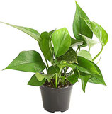 Efeutute ( kompl. Pflanze)