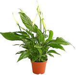Einblatt (kompl. Pflanze)
