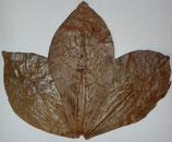 Seemandelbaumblätter XXL