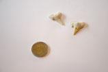 Mineral Haifischzahn versteinert Stück