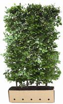Rotbuche - Fagus sylvatica - 150 cm Höhe