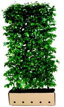 Eisenholzbaum - Parrotia persica 'Vanessa' - 200 cm Höhe