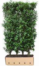 Portugiesischer Lorbeer - Prunus lusitanica Angustifolia - 150 cm Höhe