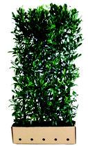 Kirschlorbeer - Prunus laurocerasus Novita - 200 cm Höhe