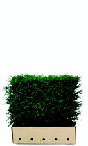 Eibe - Taxus baccata 80 cm Höhe