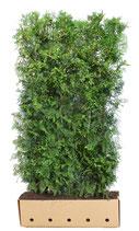 Lebensbaum Brabant - Thuja occidentalis Brabant - 200 cm Höhe