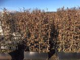 Hainbuche - Carpinus betulus , Höhe 160 - 180 cm