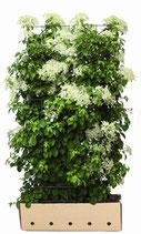 Kletterhortensie - Hydrangea anomale petiolaris - 180 cm Höhe