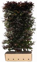 Blutbuche - Fagus sylvatica Atropunicea - 200 cm Höhe