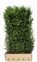 Eibe - Taxus baccata 180 cm Höhe
