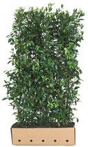 Kirschlorbeer - Prunus laurocerasus Herbergii - 180 cm Höhe