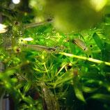 (甲殻類/エビ)ヤマトヌマエビ(3匹)【生体】※保証対象外商品