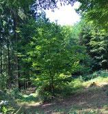 Waldpatenschaft, junger Baum/Setzling