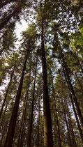 Waldpatenschaft, großer Baum