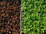 6 Salatjungpflanzen Lollo rosso & bionda im Erdpressballen