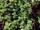 1 Erdbeerjungpflanzen im 9cm Topf