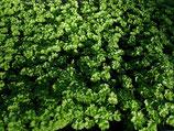 6 Petersilienjungpflanzen krause im Erdpressballen