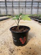 Tomate Harzfeuer in 9 cm Topf