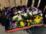 12 Hornfveilchen Viola cornuta 9cm Topf,  12 Stück im Tray