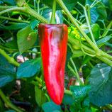 Paprika Corno rosso