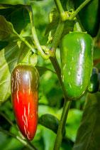 Chili Jalapeno