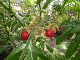 Litschi-Tomaten