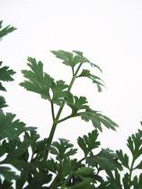 Glatte Petersilie  (Petroselinum crispum)