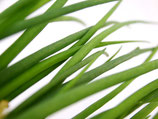 Frühlingslauch NEU!  (Alium fistulosum)