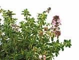 Goldthymian (Thymus citriodorus variegata)