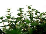 "Ingwer Thymian (Thymus Hybride ""Ginger"")"
