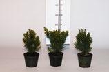 Taxus cuspidata als Buchsbaumersatz und Alternative