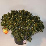 "Inkarho Rhododendron ""Gomer Waterer II"" - Rhododendron Hybride 'Gomer Waterer'"