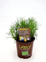 Olivenkraut (Santolina viridis)