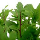 Wilde Rauke (Diplotaxis tenuifolia)