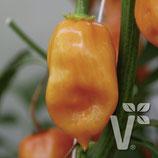 """Habanero Chilli """"Calita Orange"""""""