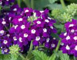 "Verbene ""Dark Violett"""