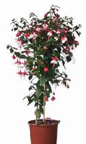 Fuchsia diverse Farbmischungen