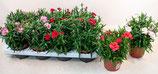 Dianthus bunt