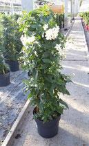 Solanum Jasminoides Pyramide