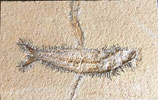 Knochenfisch