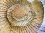 Ammonit Negativ