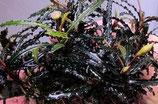 bucephalandra micro catherinae