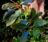 bucephalandra aragon