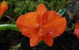 Maxillaria sophronitis