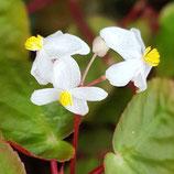 Begonia dietrichiana