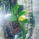 bucephalandra  braun-rot serimbu